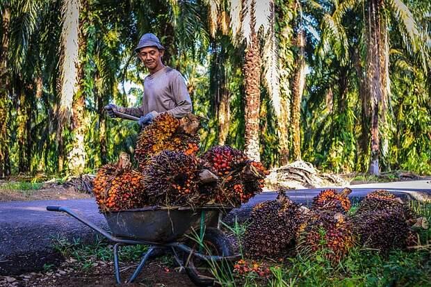 Россия увеличивает импорт пальмового масла: что можно сделать, чтобы нас перестали «травить»
