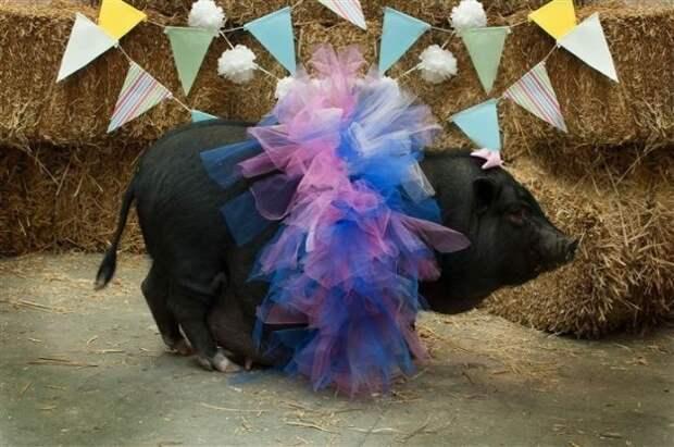 Свинка Софи оказалась идеальной фотомоделью приют для животных, фото животных