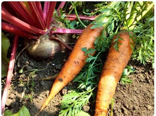 Свекла и морковь, фото автора