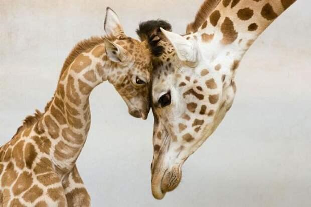 животные-родители, родители животные, животные с детёнышами