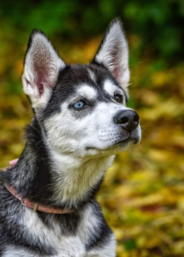 Удивительная гетерохромия! Потрясающие собаки с разными глазами, которых это только красит!