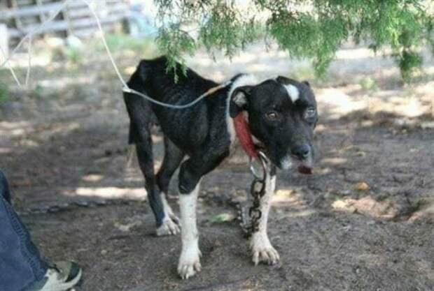 Её использовали в качестве бойцовской собаки, мучили голодом и издевались