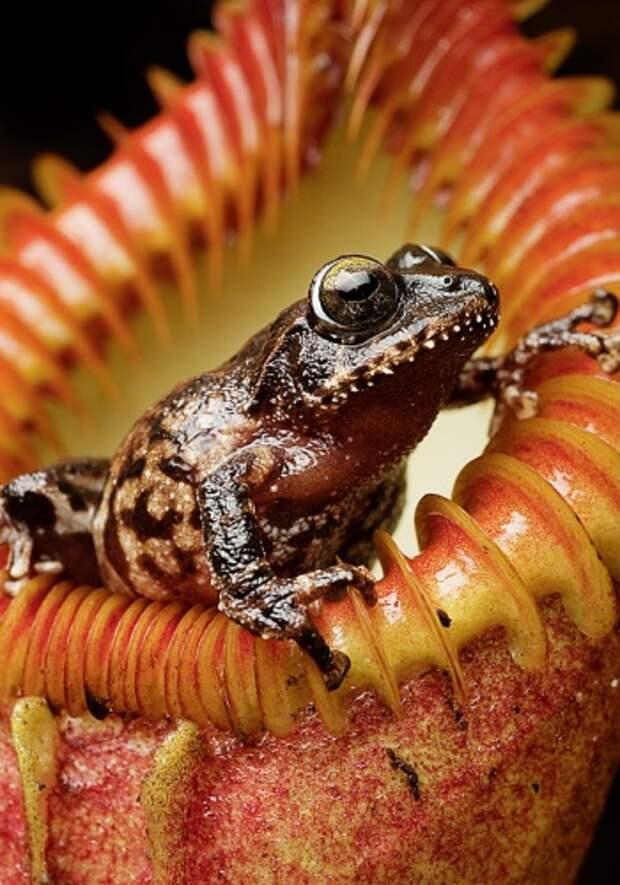 На Борнео лягушка чувствует себя в безопасности, забравшись в кувшин плотоядного непентеса