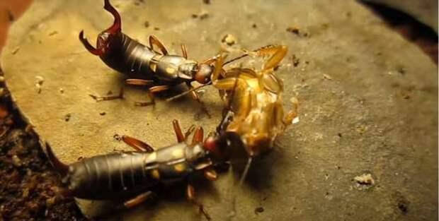Уховёртка: Хватит путать с двухвосткой! Опасно ли это насекомое, и как оно живёт? (8 фото)