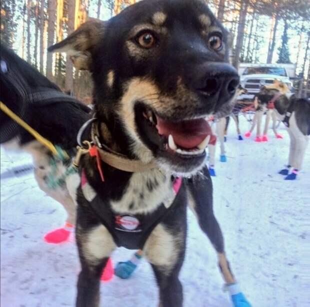 19. Хантер (Hunter) - 2 года животные, истории, мило, работа, собака, собаки, упряжка, фото