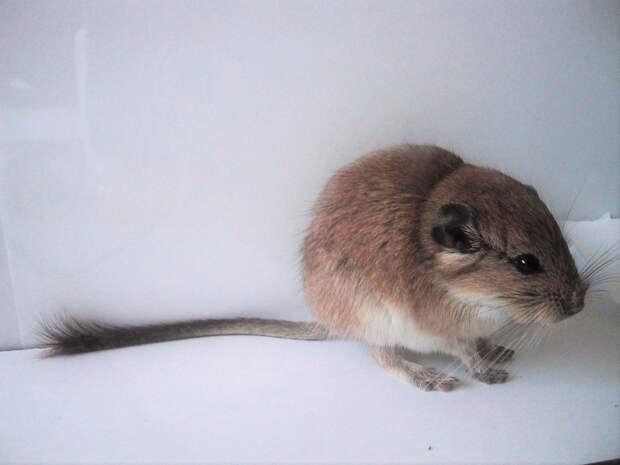 Красная вискашевая крыса Tympanoctomys barrerae