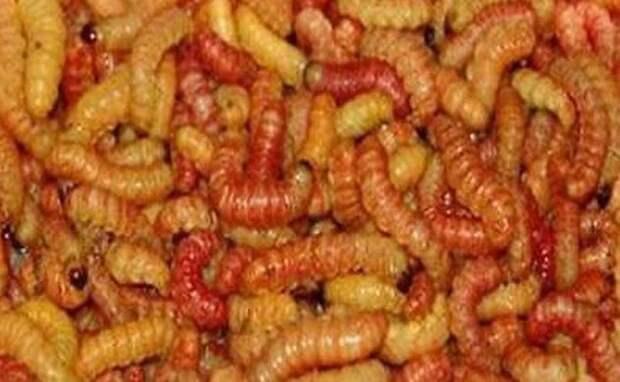 10 червей, которых используют люди