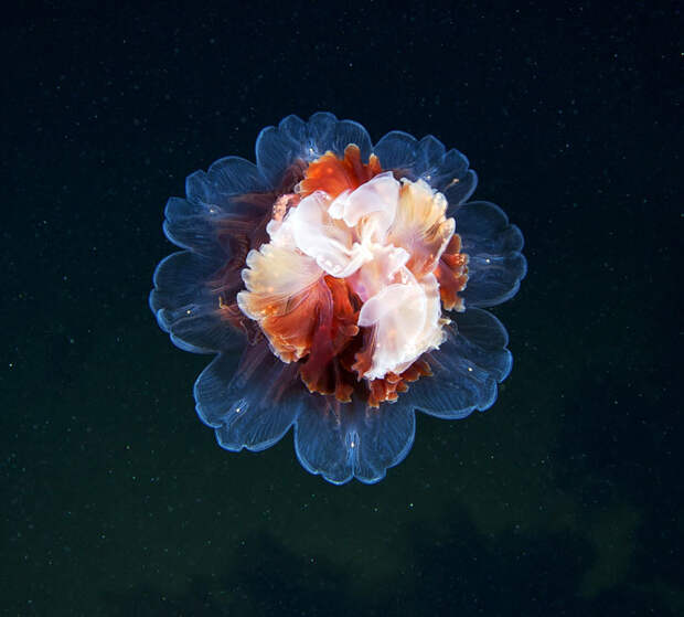 Медузы