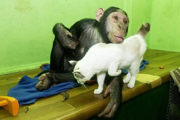 Иркутская шимпанзе Принцесса Лея усыновила второго котенка