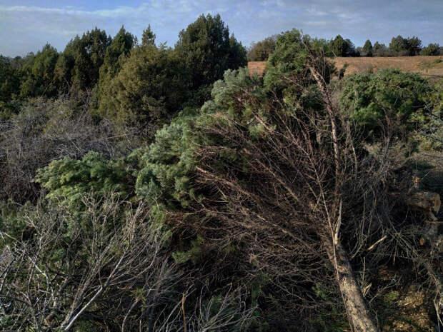 Четыре гектара краснокнижного можжевельника вырубили в Севастополе