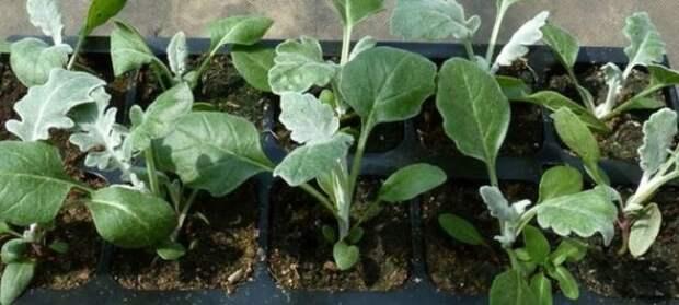 «Седой» цветок или прекрасное комнатное растение цинерария (61 фото)