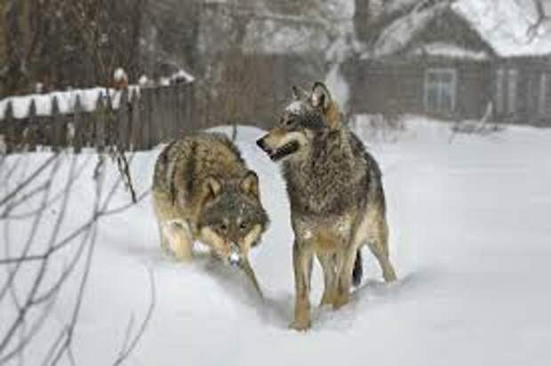 Жители Омской области пожаловались на волков