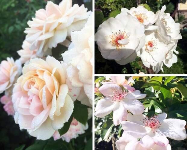 15 хитростей, как ухаживать за розами