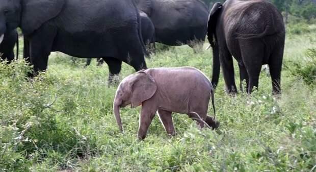 Уникальный розовый слонёнок попал на видео