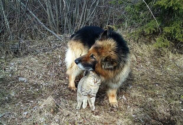 Кот любит высказывать свою нежность по отношению к другу-собаке