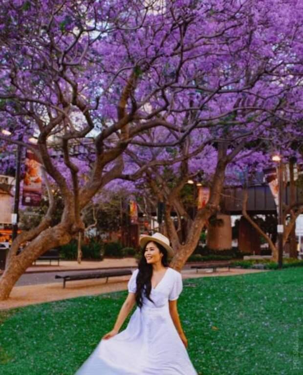 В Австралии цветёт джакаранда