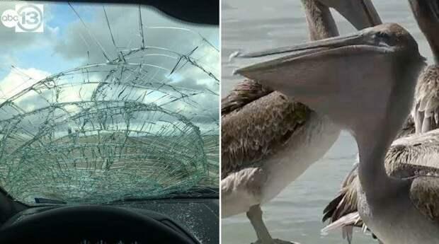 И, наконец, самая дикая вещь — в это раз лобовое стекло автомобиля внезапно встретилось с пеликаном авто, в мире, дорога, за рулем, опасно, подборка, прилетело