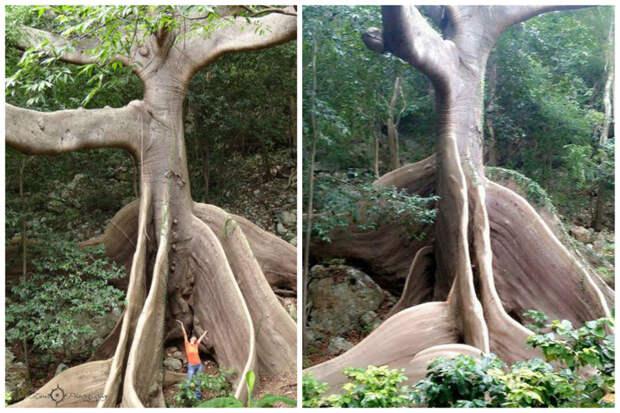 Сейба (Хлопковое дерево) — род древесных растений подсемейства Бомбаксовые семейства Мальвовые. деревья, невероятное, природа, удивительное, флора