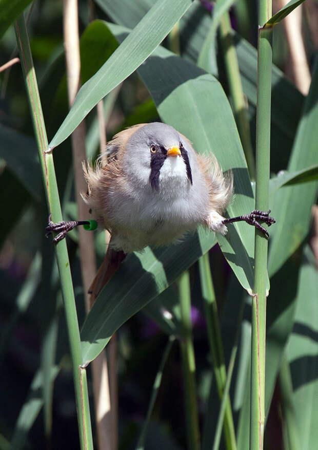 Смешная синяя птица, которая умеет делать безупречный шпагат