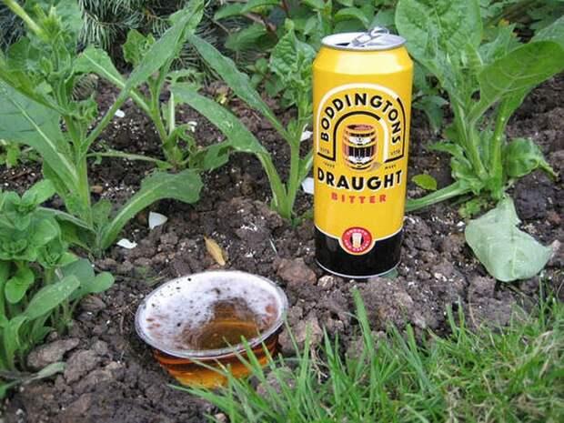 3. Одолели слизни на огороде? Вам на помощь придёт пиво сад, советы, хитрость