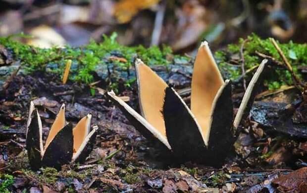 11. Сигара дьявола / Chorioactis geaster грибы, факты, это интересно