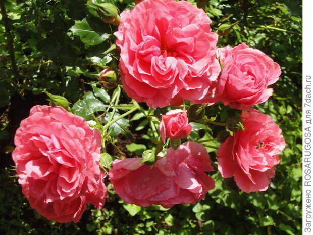 Яркие соцветия Rosarium Utersen притягивают взгляды