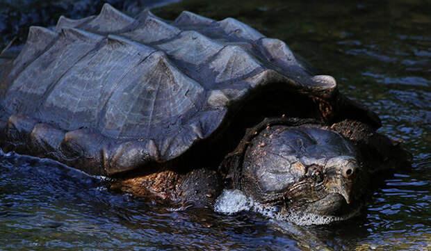 5 пугающих фото аллигаторовой черепахи, которая похожа на Годзиллу