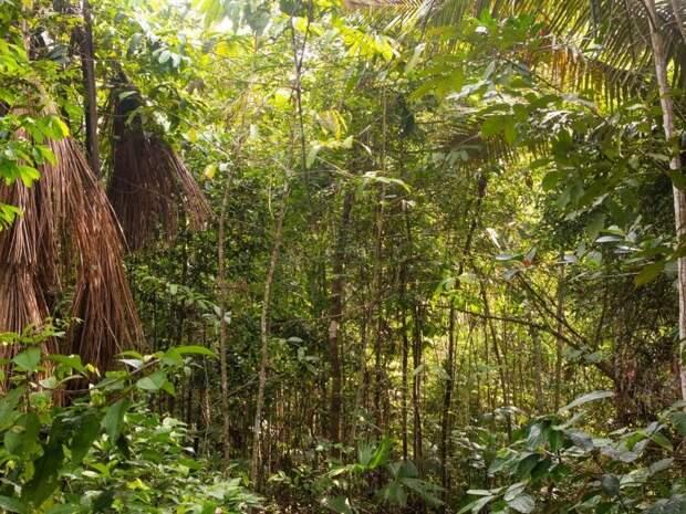 Труды древних земледельцев продолжают влиять на биоразнообразие Амазонии
