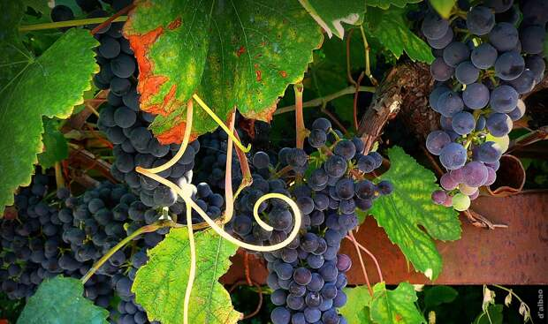 Нужно ли стричь виноградные усы?