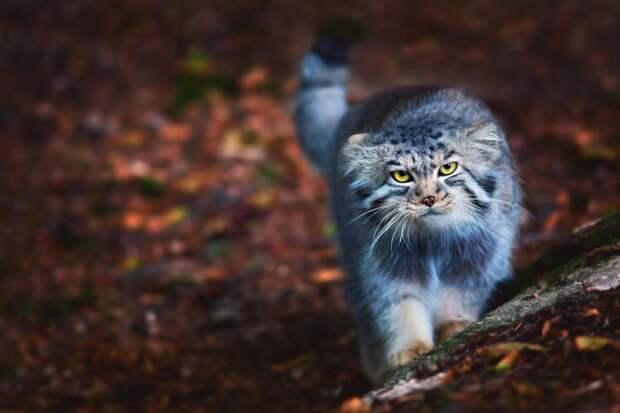 Ученые определили 5 самых опасных кошек в мире