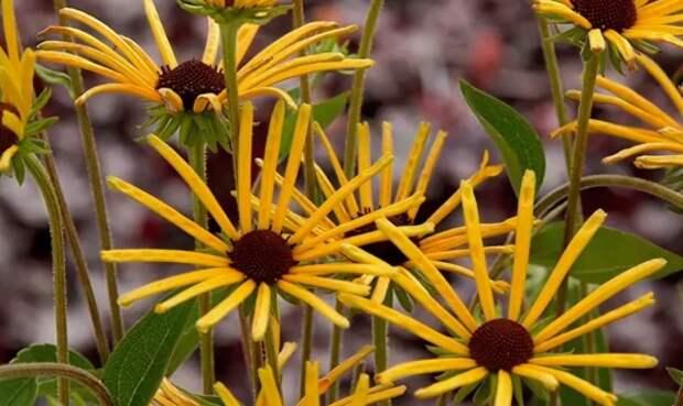 Солнышко в саду – рудбекия многолетняя