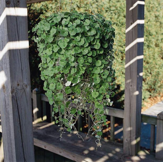Дихондра Серебристый и Изумрудный водопад: выращивание из семян и особенности ухода