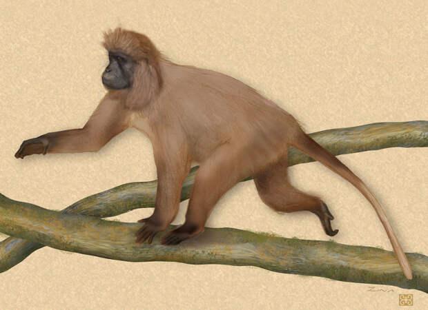 Горный мангобей кипунджи Rungwecebus kipunj