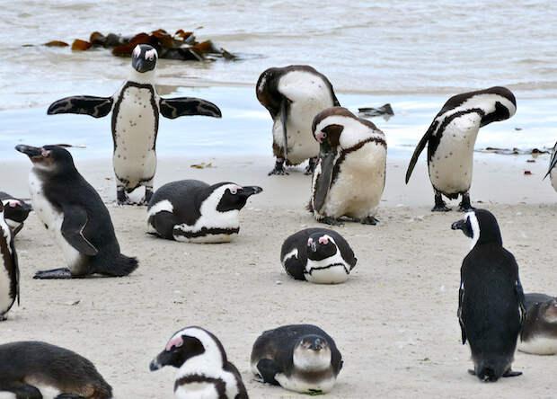Очковые пингвины вышли на охоту командой