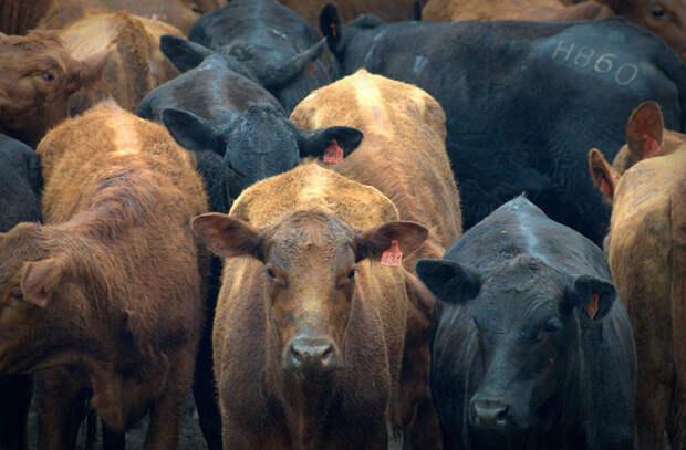 Здесь в четыре раза больше коров, чем людей в мире, закон, люди, правила, уругвай, факты
