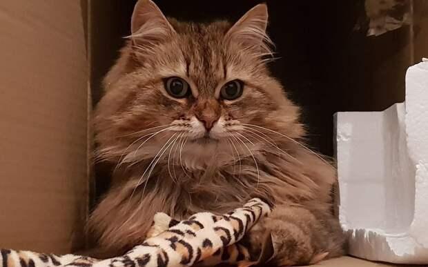 Британская кошка повадилась ходить в ресторан