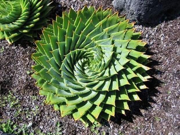 Удивительная красота суккулентов: растительная геометрия растения, геометрия, суккуленты, длиннопост, фотография