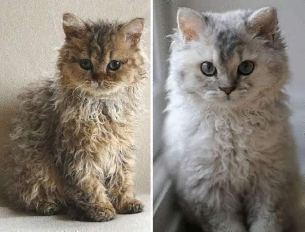История происхождения кудрявого котеночка. Такие и правда существуют?