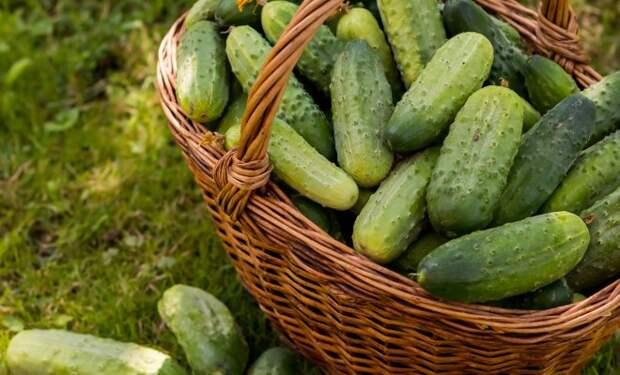 Как вырастить вкусные огурцы – раскрываем секреты опытных огородников