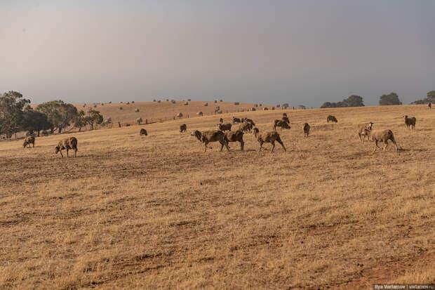 Аделаида: вино, смог от пожаров, коалы и кенгуру!