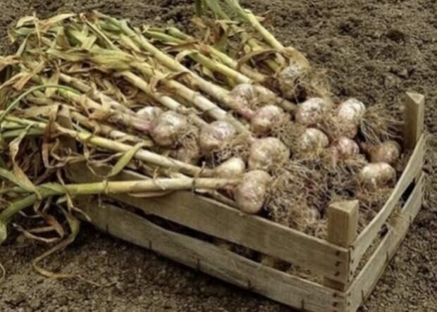 Секреты выращивания чеснока