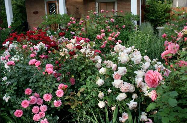 Выбор места для посадки роз