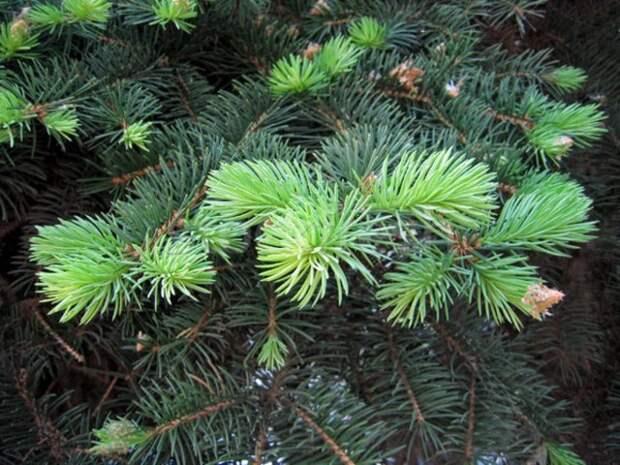 7 способов применения сосновой хвои на садовом участке