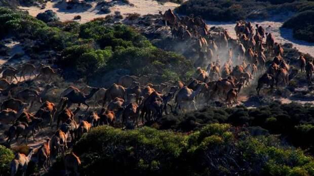 Впрочем, к счастью для австралийских почв, австралийцы не могут проконтролировать всю территорию своего континента. Поэтому конкретно эти крупные травоядные все-таки не находятся под угрозой вымирания / ©Wikimedia Commons