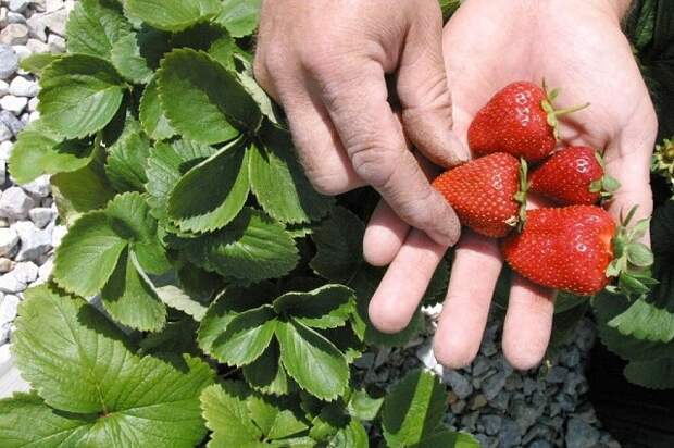 Совет садоводам, которые хотят сменить клубничное место