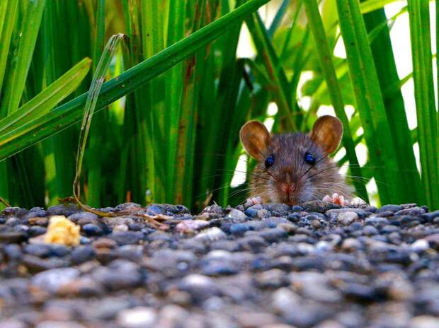 Крысам на Яузе объявили войну без использования «химоружия»