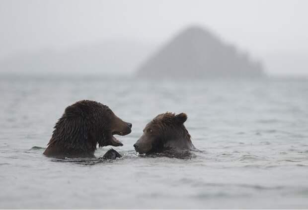 Медведи на Камчатке в объективе Игоря Шпиленка, ч.2