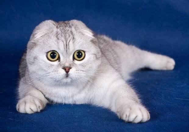 самые дорогие кошки: Шотландская вислоухая порода (скоттиш-фолд). фото