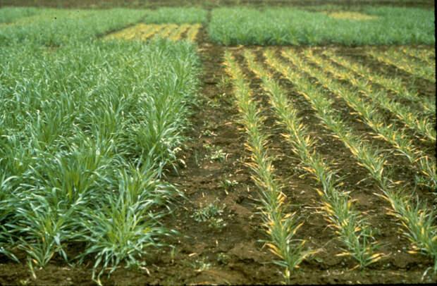 С одной стороны мы видим растения в бедной фосфором почве, а с другой — растения того же вида, но после вноса фосфорных удобрений / ©Patrick Wall/CIMMYT.