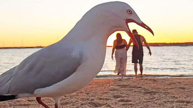В Австралии чайки испортили романтическое видео
